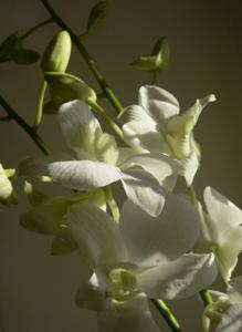 orchidejos